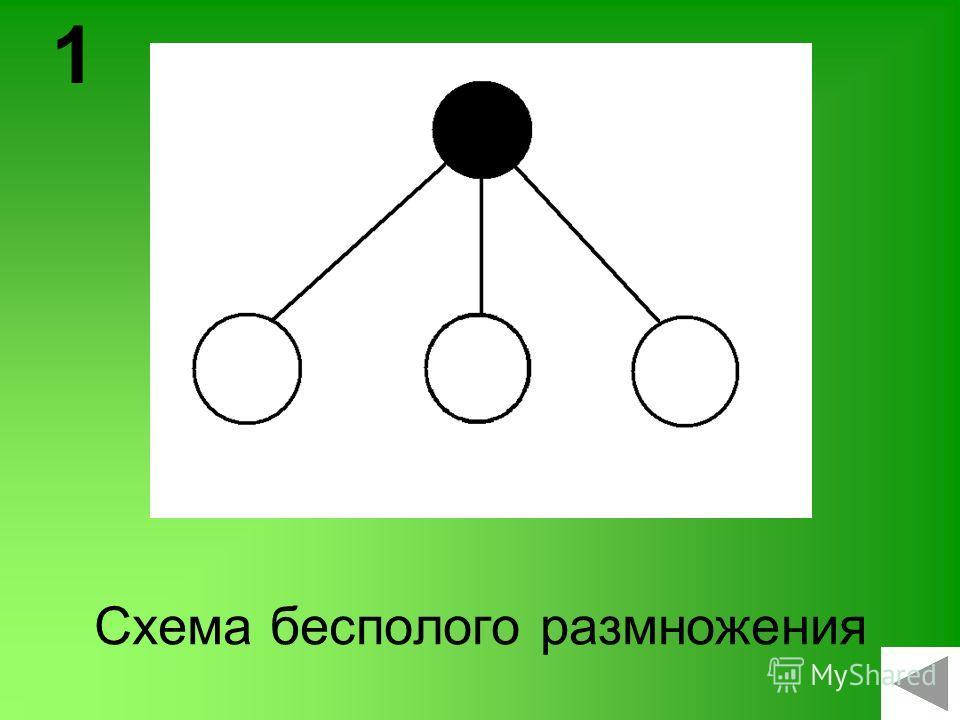 Схема бесполого размножения 1