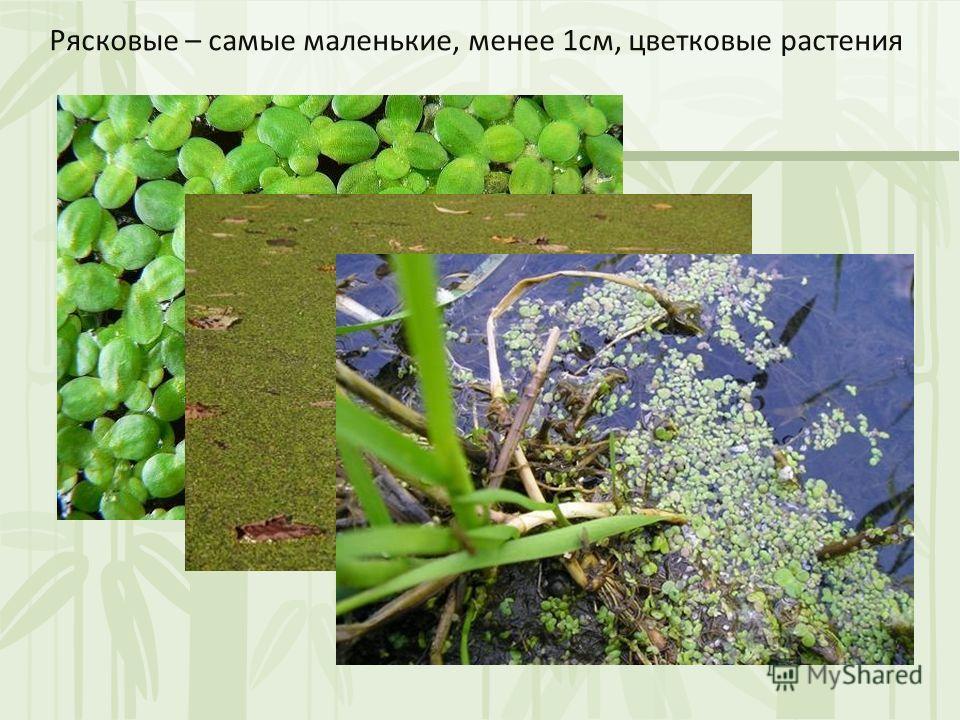 Рясковые – самые маленькие, менее 1см, цветковые растения
