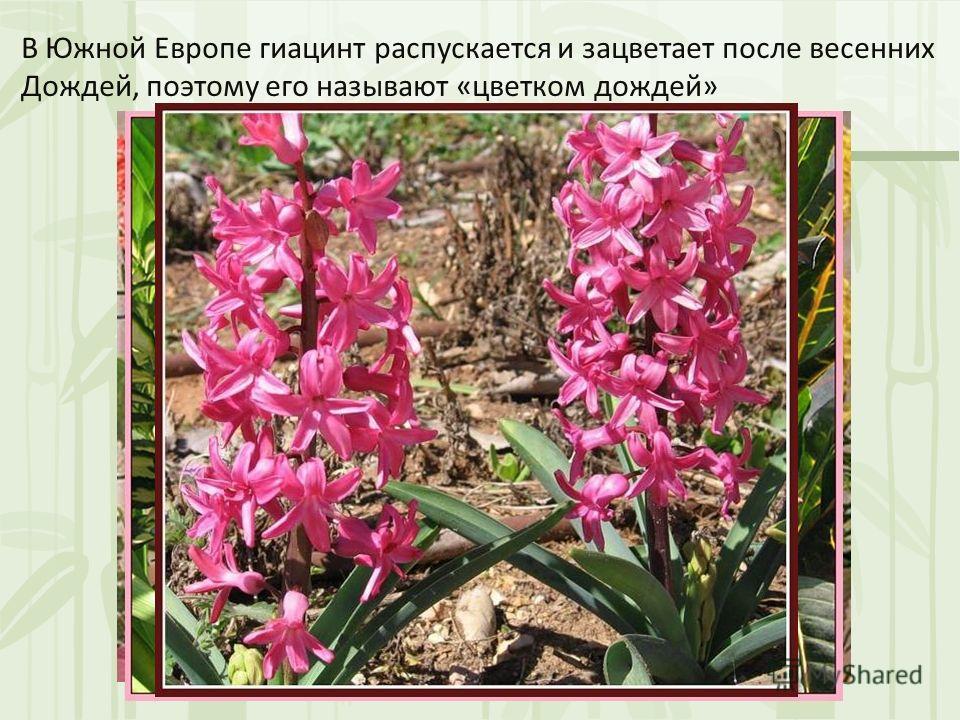 В Южной Европе гиацинт распускается и зацветает после весенних Дождей, поэтому его называют «цветком дождей»