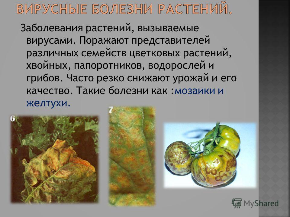Заболевания растений, вызываемые вирусами. Поражают представителей различных семейств цветковых растений, хвойных, папоротников, водорослей и грибов. Часто резко снижают урожай и его качество. Такие болезни как :мозаики и желтухи.