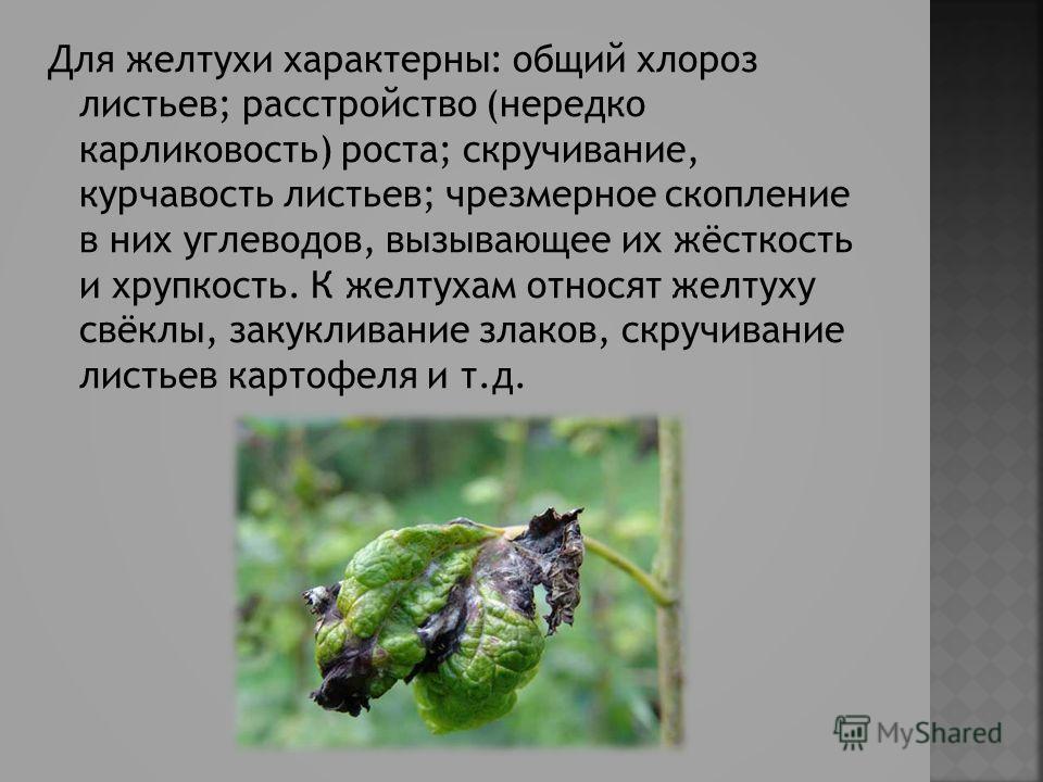 Для желтухи характерны: общий хлороз листьев; расстройство (нередко карликовость) роста; скручивание, курчавость листьев; чрезмерное скопление в них углеводов, вызывающее их жёсткость и хрупкость. К желтухам относят желтуху свёклы, закукливание злако