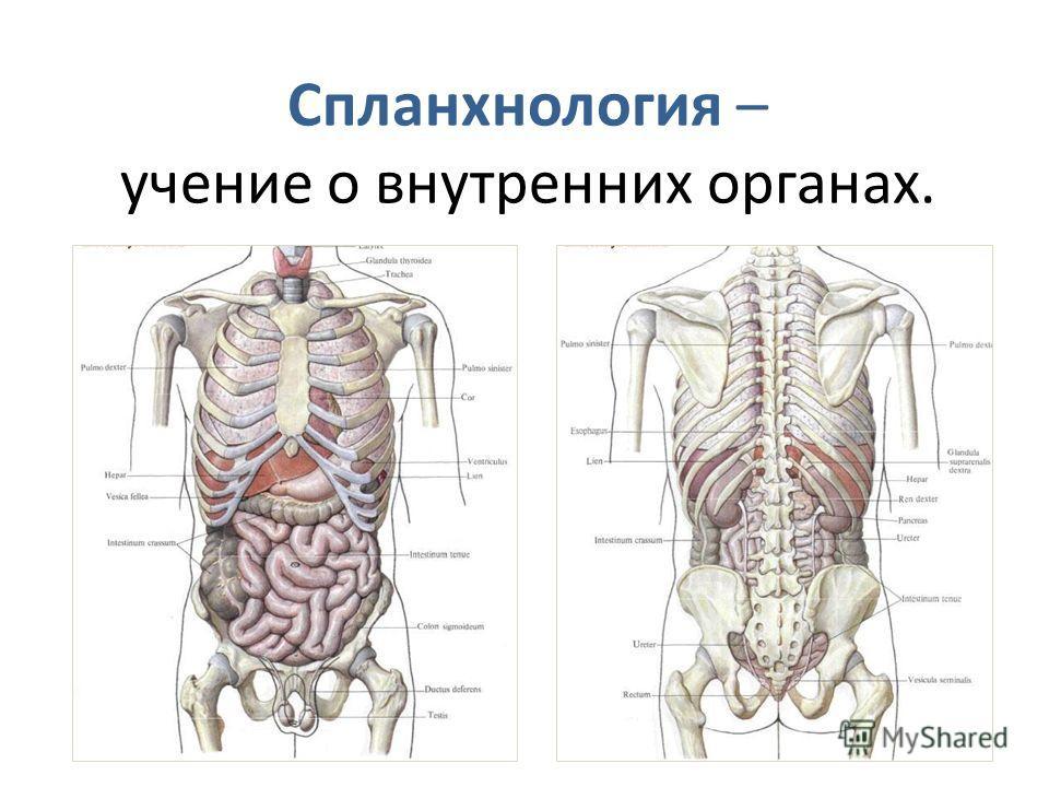 Cпланхнология – учение о внутренних органах.