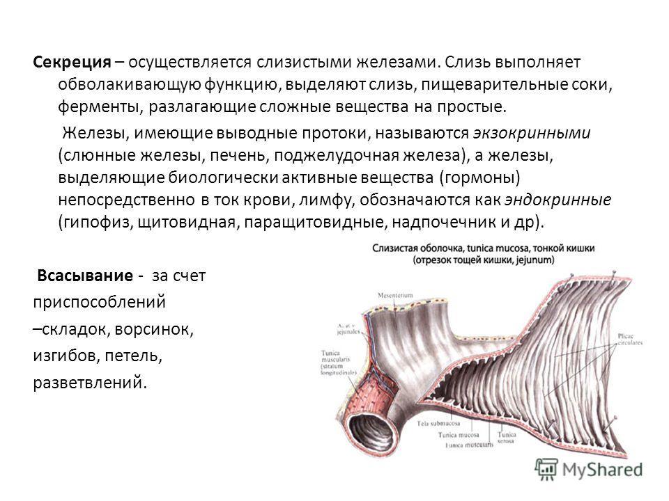 Секреция – осуществляется слизистыми железами. Слизь выполняет обволакивающую функцию, выделяют слизь, пищеварительные соки, ферменты, разлагающие сложные вещества на простые. Железы, имеющие выводные протоки, называются экзокринными (слюнные железы,