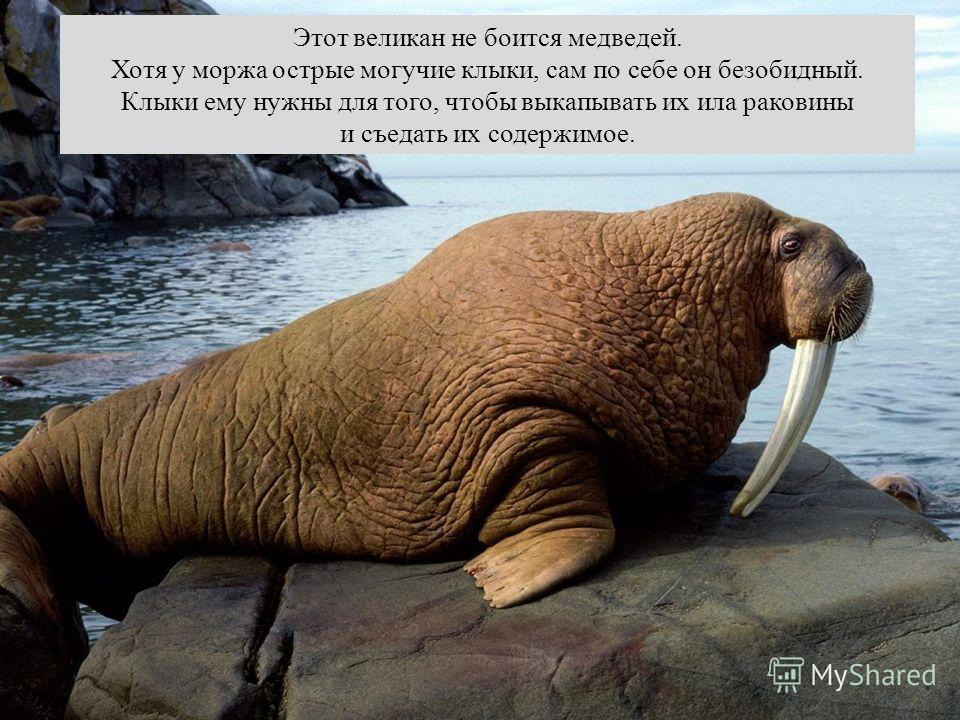Этот великан не боится медведей. Хотя у моржа острые могучие клыки, сам по себе он безобидный. Клыки ему нужны для того, чтобы выкапывать их ила раковины и съедать их содержимое.