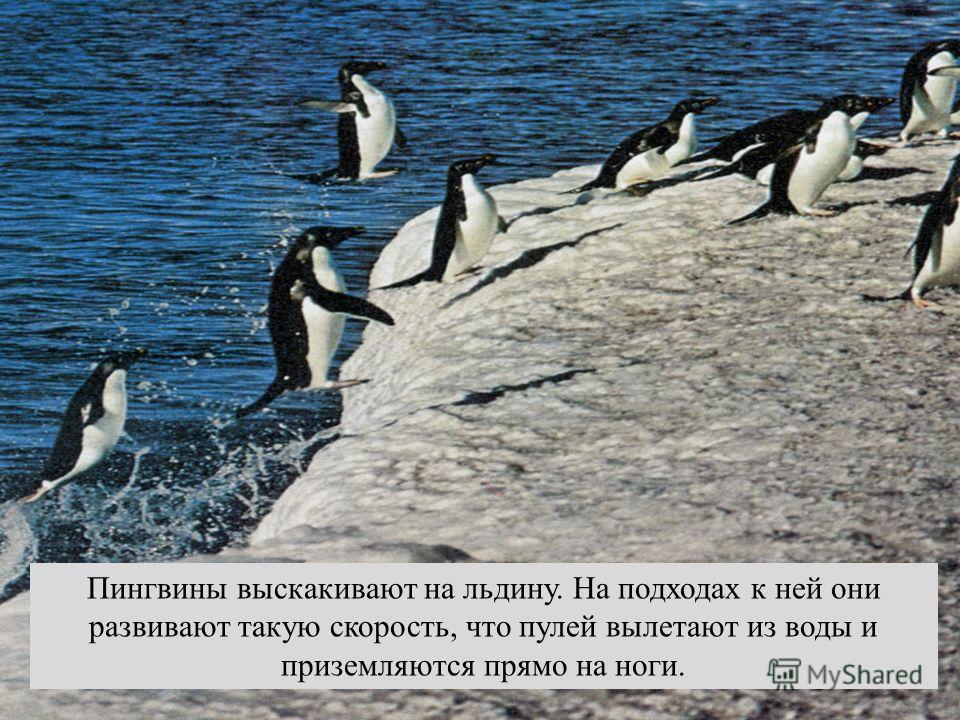 Пингвины выскакивают на льдину. На подходах к ней они развивают такую скорость, что пулей вылетают из воды и приземляются прямо на ноги.