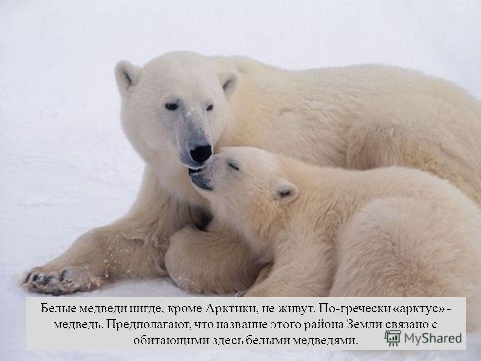 Белые медведи нигде, кроме Арктики, не живут. По-гречески «арктус» - медведь. Предполагают, что название этого района Земли связано с обитающими здесь белыми медведями.