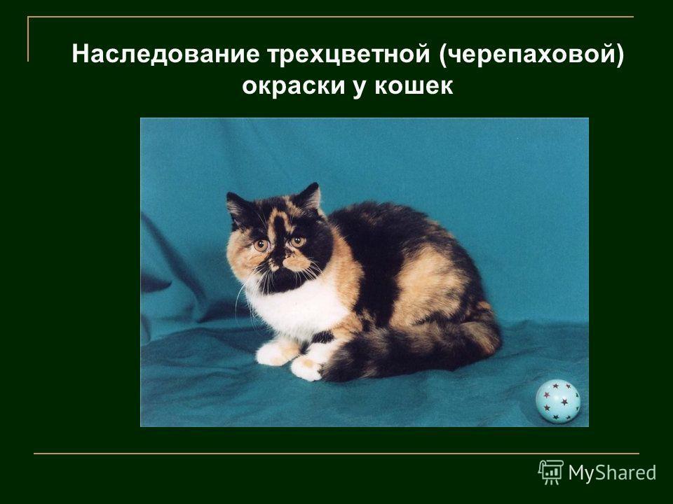Наследование трехцветной (черепаховой) окраски у кошек