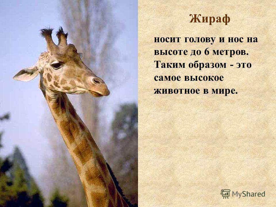 Жираф носит голову и нос на высоте до 6 метров. Таким образом - это самое высокое животное в мире.