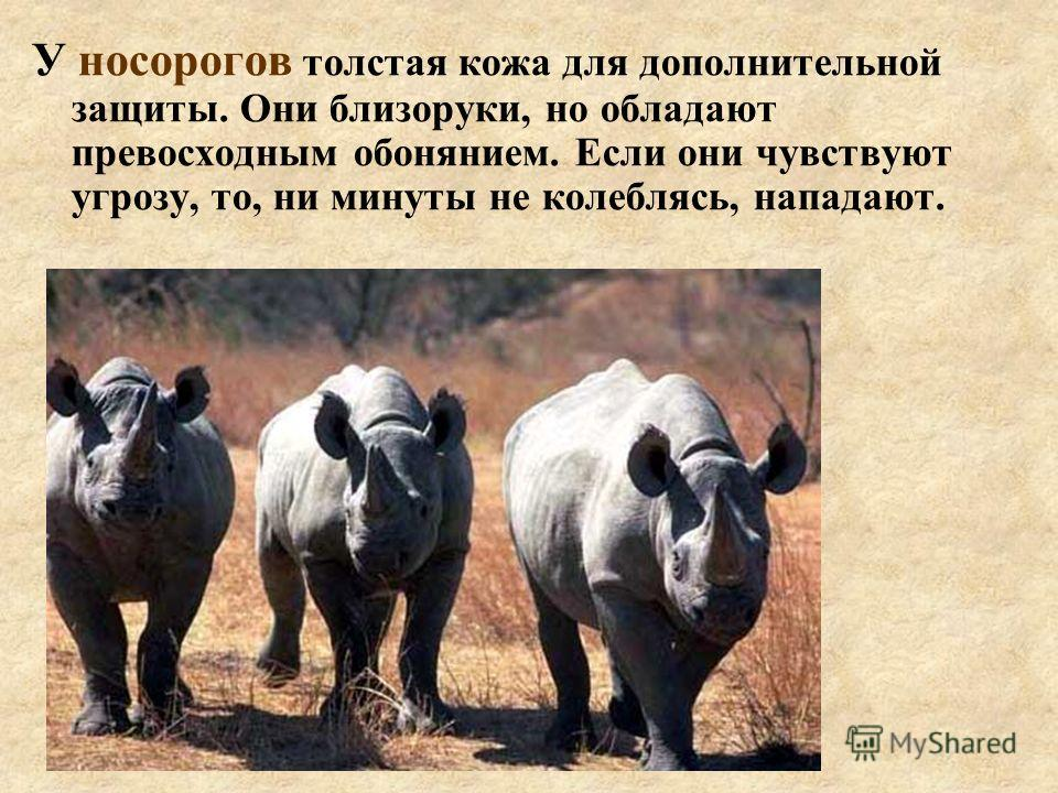 У носорогов толстая кожа для дополнительной защиты. Они близоруки, но обладают превосходным обонянием. Если они чувствуют угрозу, то, ни минуты не колеблясь, нападают.