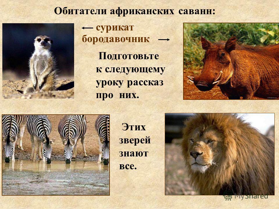 Обитатели африканских саванн: сурикат бородавочник Подготовьте к следующему уроку рассказ про них. Этих зверей знают все.