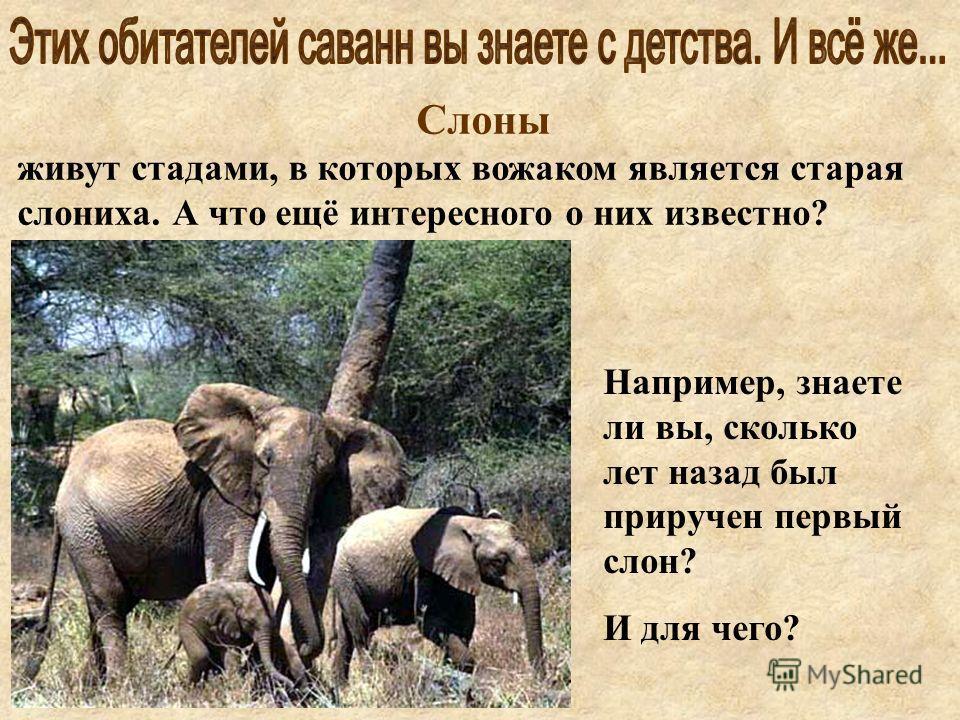 Слоны живут стадами, в которых вожаком является старая слониха. А что ещё интересного о них известно? Например, знаете ли вы, сколько лет назад был приручен первый слон? И для чего?