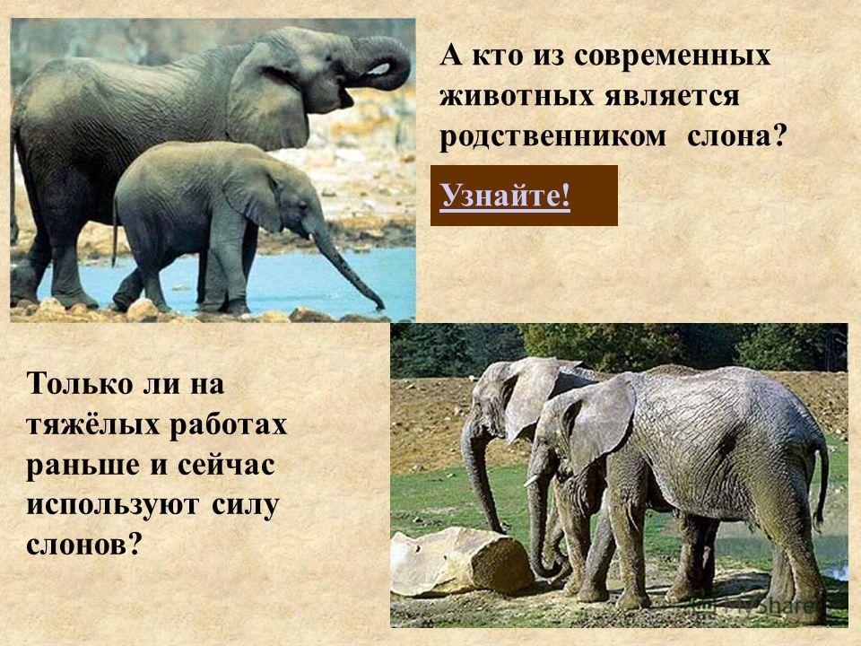 А кто из современных животных является родственником слона? Узнайте! Только ли на тяжёлых работах раньше и сейчас используют силу слонов?