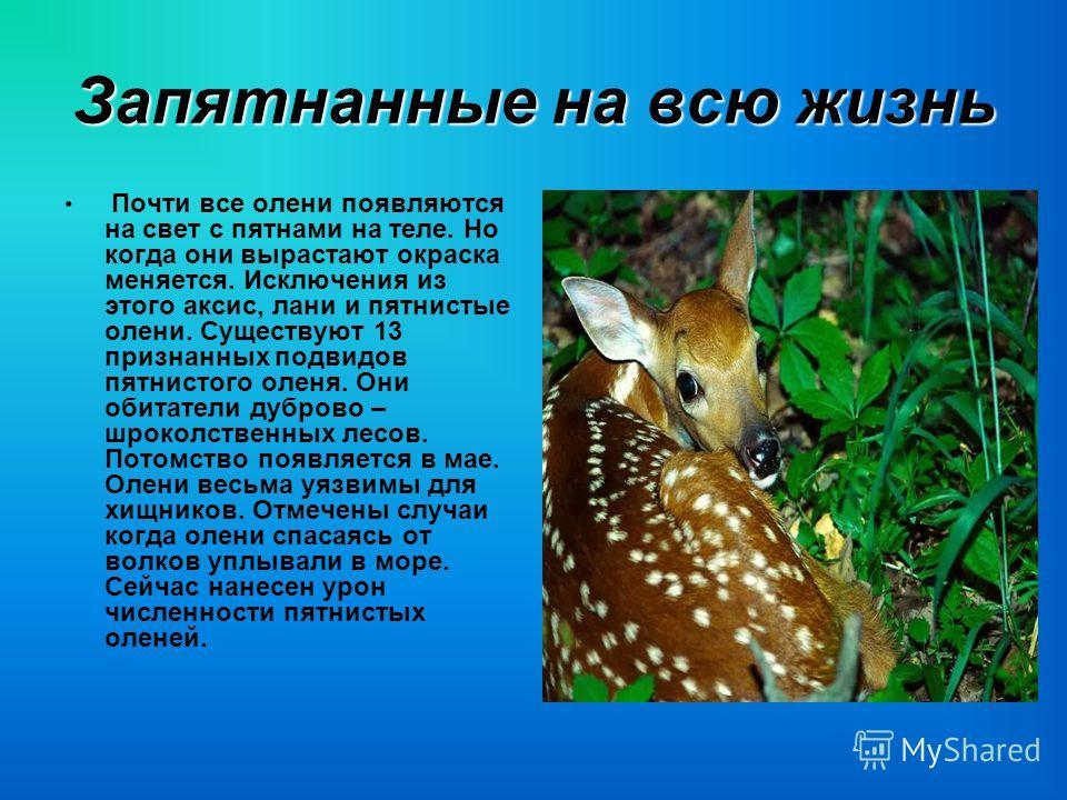 Запятнанные на всю жизнь Почти все олени появляются на свет с пятнами на теле. Но когда они вырастают окраска меняется. Исключения из этого аксис, лани и пятнистые олени. Существуют 13 признанных подвидов пятнистого оленя. Они обитатели дуброво – шро