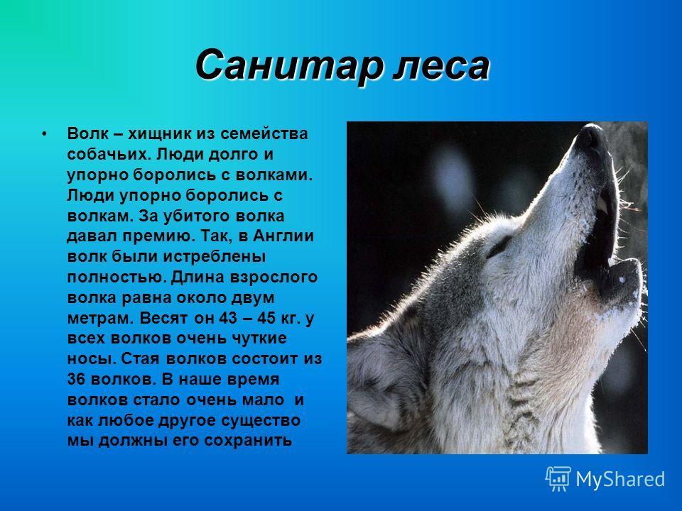 Санитар леса Волк – хищник из семейства собачьих. Люди долго и упорно боролись с волками. Люди упорно боролись с волкам. За убитого волка давал премию. Так, в Англии волк были истреблены полностью. Длина взрослого волка равна около двум метрам. Весят