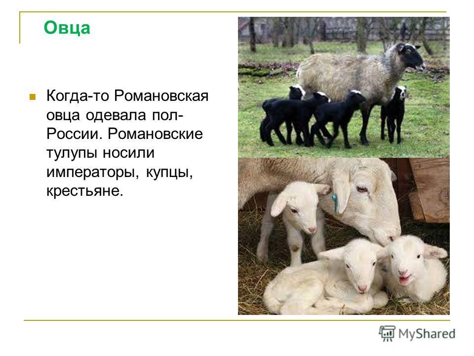 Овца Когда-то Романовская овца одевала пол- России. Романовские тулупы носили императоры, купцы, крестьяне.