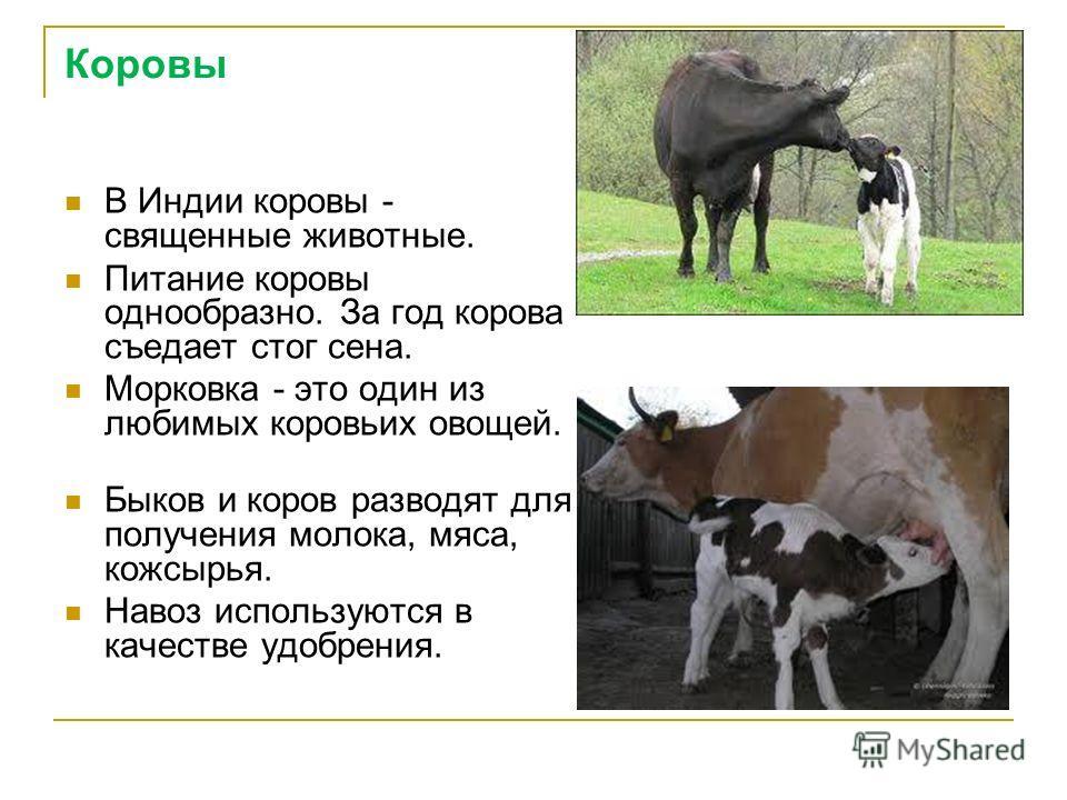 Коровы В Индии коровы - священные животные. Питание коровы однообразно. За год корова съедает стог сена. Морковка - это один из любимых коровьих овощей. Быков и коров разводят для получения молока, мяса, кожсырья. Навоз используются в качестве удобре