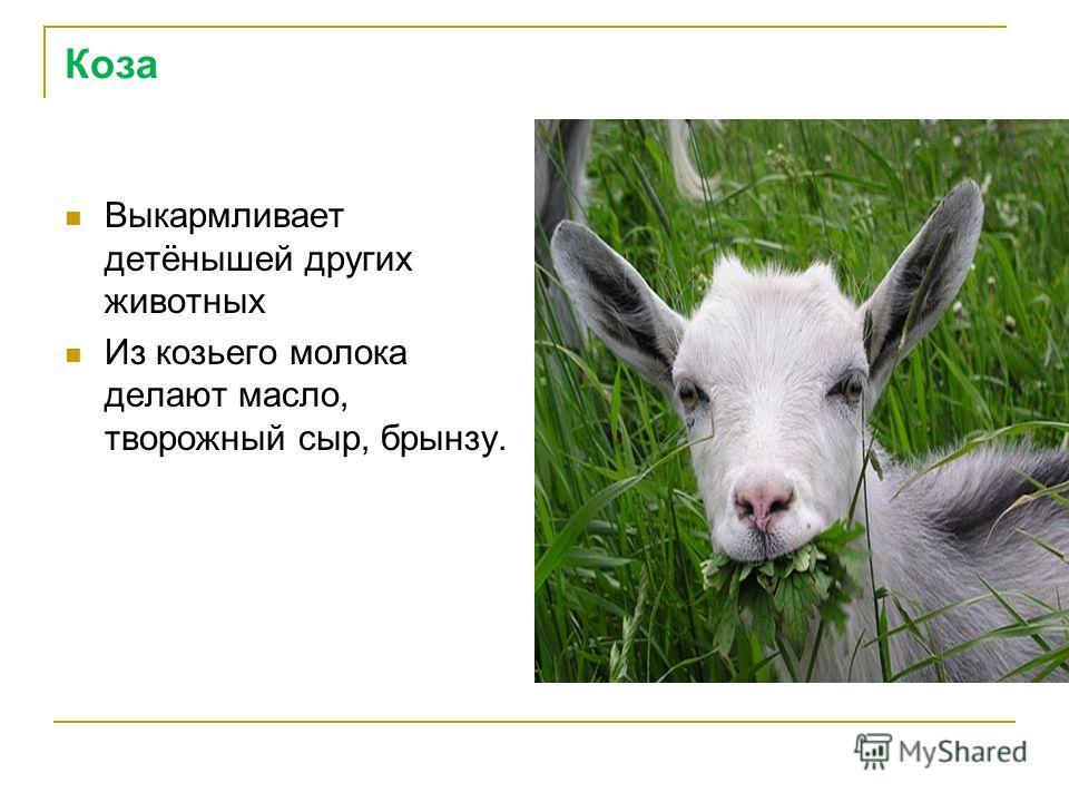 Коза Выкармливает детёнышей других животных Из козьего молока делают масло, творожный сыр, брынзу.