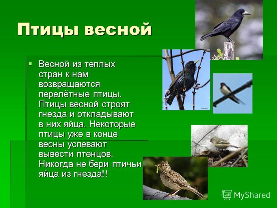 Птицы весной Весной из теплых стран к нам возвращаются перелётные птицы. Птицы весной строят гнезда и откладывают в них яйца. Некоторые птицы уже в конце весны успевают вывести птенцов. Никогда не бери птичьи яйца из гнезда!! Весной из теплых стран к