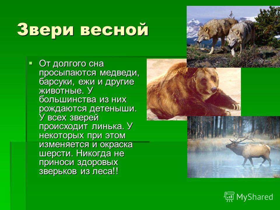 Звери весной От долгого сна просыпаются медведи, барсуки, ежи и другие животные. У большинства из них рождаются детеныши. У всех зверей происходит линька. У некоторых при этом изменяется и окраска шерсти. Никогда не приноси здоровых зверьков из леса!