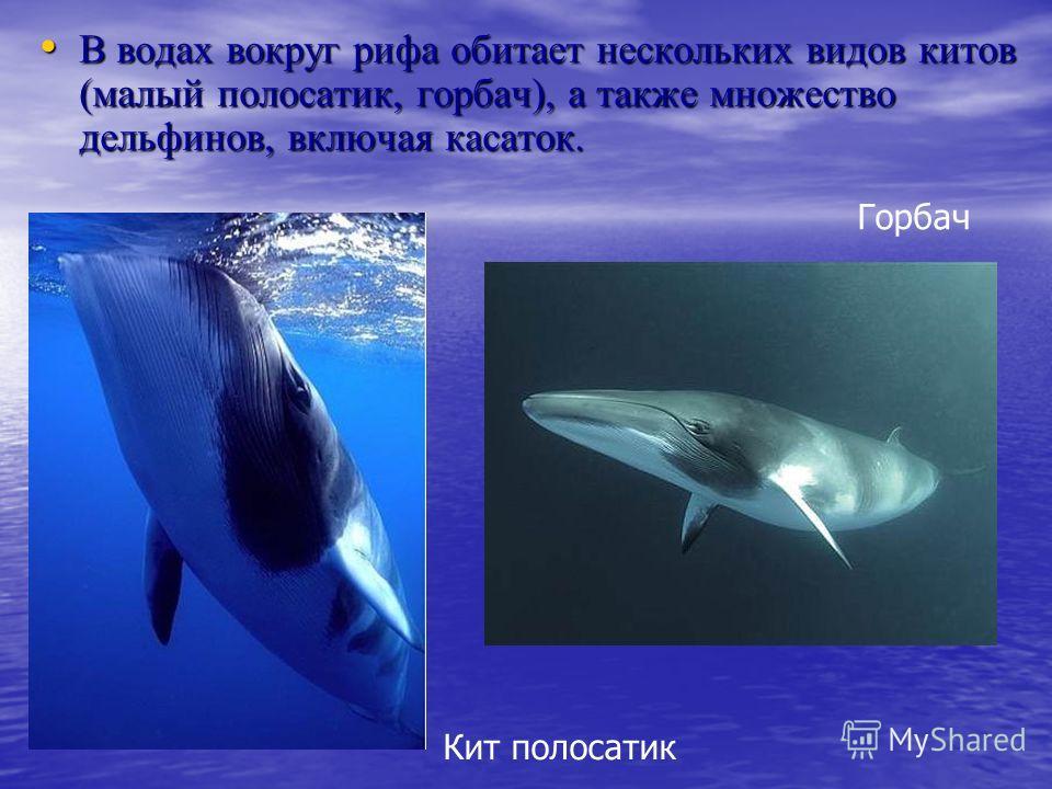 В водах вокруг рифа обитает нескольких видов китов (малый полосатик, горбач), а также множество дельфинов, включая касаток. В водах вокруг рифа обитает нескольких видов китов (малый полосатик, горбач), а также множество дельфинов, включая касаток. Го