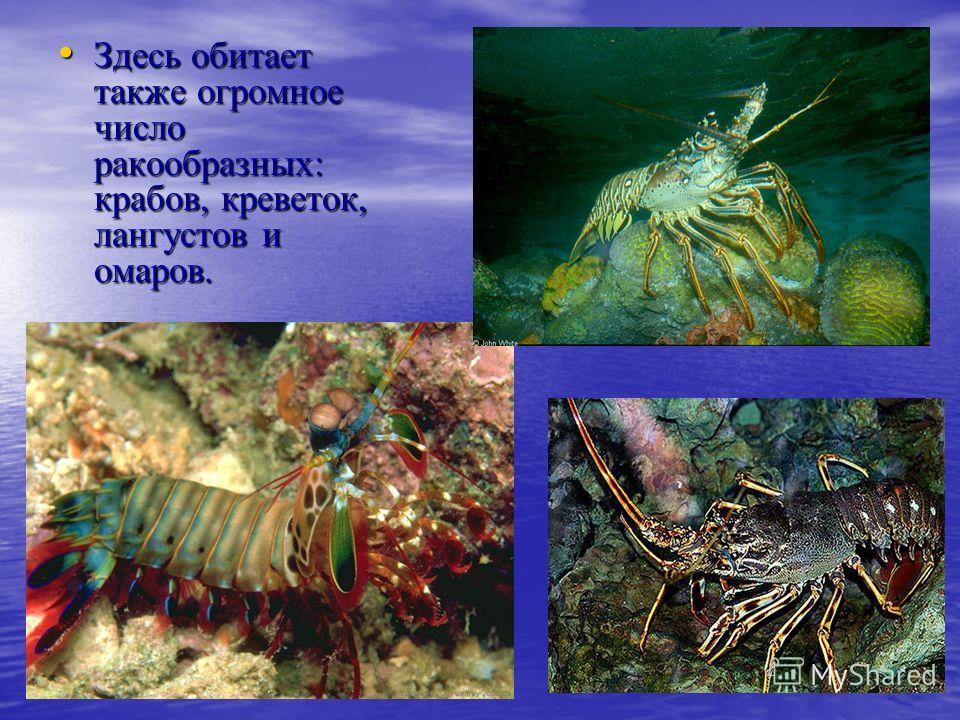 Здесь обитает также огромное число ракообразных: крабов, креветок, лангустов и омаров. Здесь обитает также огромное число ракообразных: крабов, креветок, лангустов и омаров.