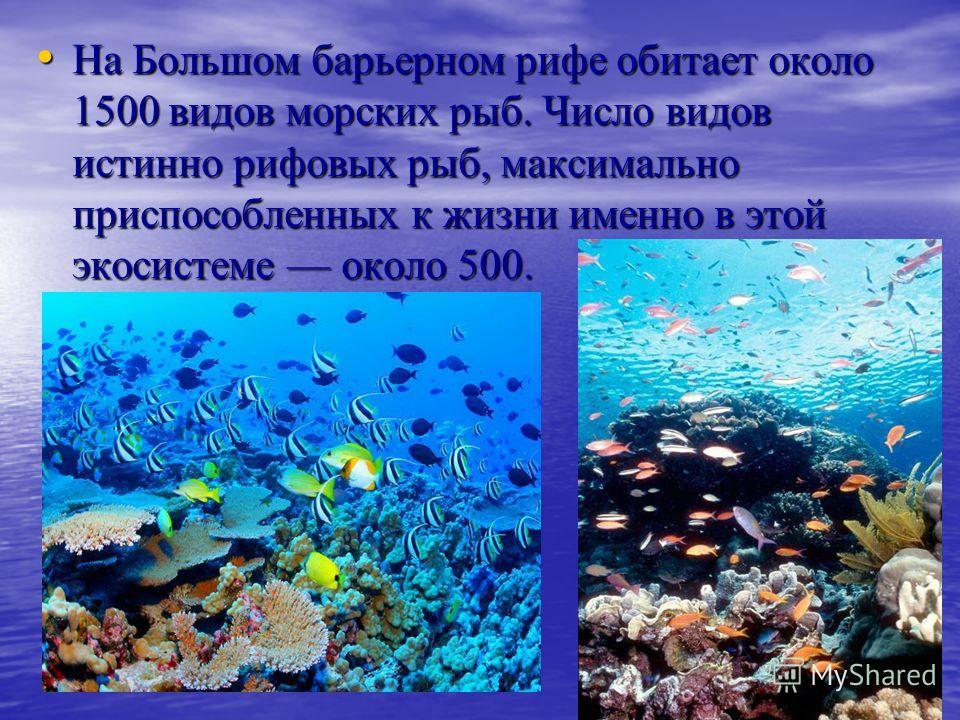 На Большом барьерном рифе обитает около 1500 видов морских рыб. Число видов истинно рифовых рыб, максимально приспособленных к жизни именно в этой экосистеме около 500. На Большом барьерном рифе обитает около 1500 видов морских рыб. Число видов истин