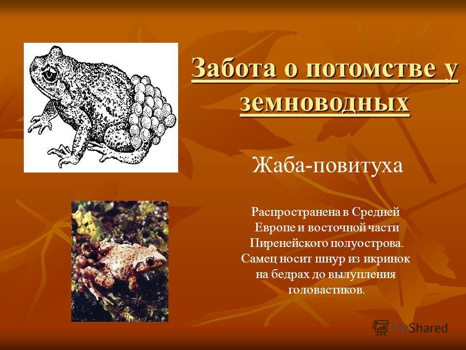 Жаба-повитуха Распространена в Средней Европе и восточной части Пиренейского полуострова. Самец носит шнур из икринок на бедрах до вылупления головастиков. Забота о потомстве у земноводных