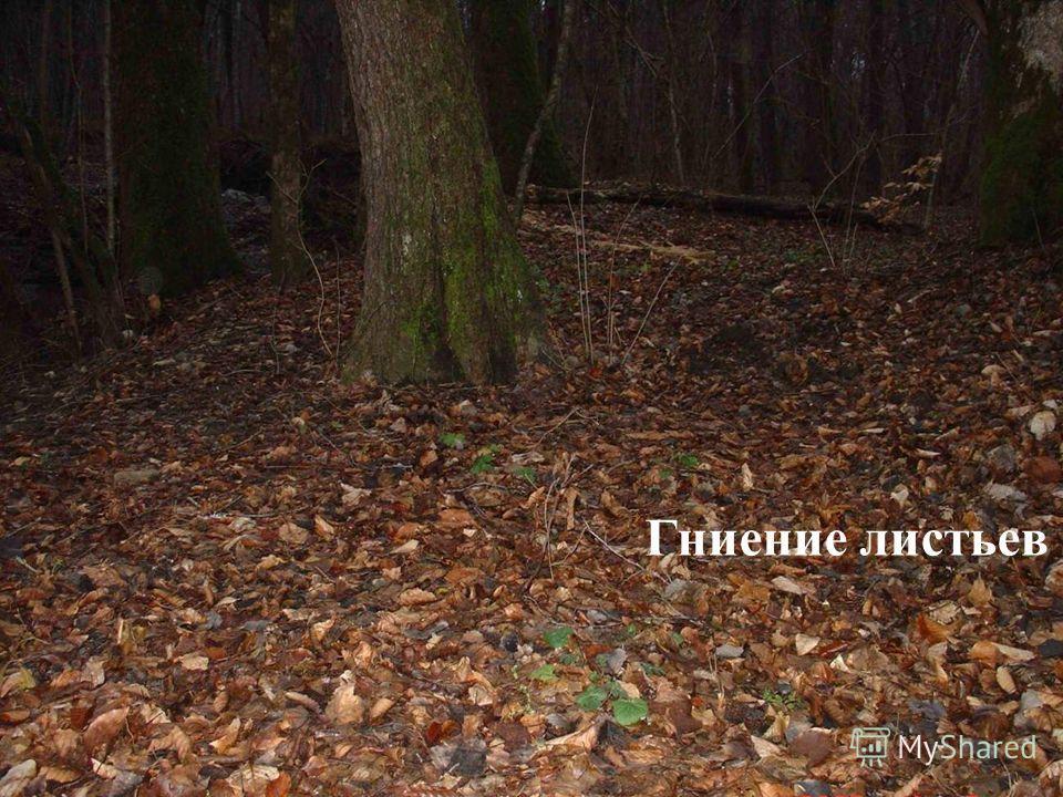 Гниение листьев