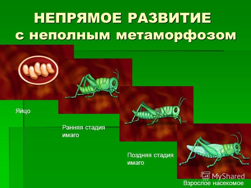 НЕПРЯМОЕ РАЗВИТИЕ с неполным метаморфозом НЕПРЯМОЕ РАЗВИТИЕ с неполным метаморфозом Яйцо Ранняя стадия имаго Поздняя стадия имаго Взрослое насекомое
