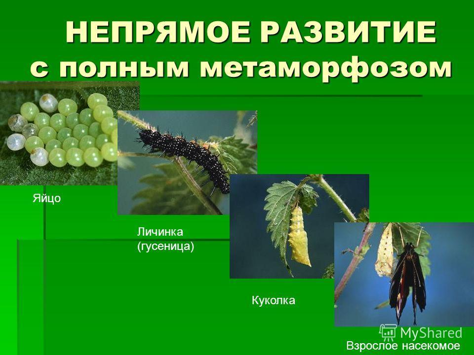 НЕПРЯМОЕ РАЗВИТИЕ с полным метаморфозом НЕПРЯМОЕ РАЗВИТИЕ с полным метаморфозом Яйцо Личинка (гусеница) Куколка Взрослое насекомое