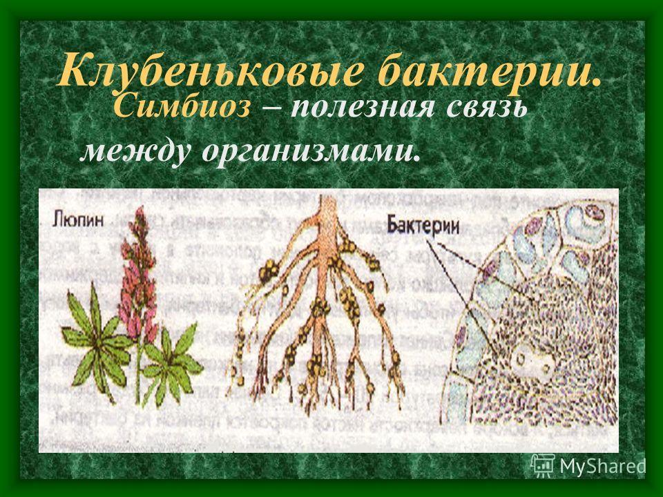 Симбиоз – полезная связь между организмами.