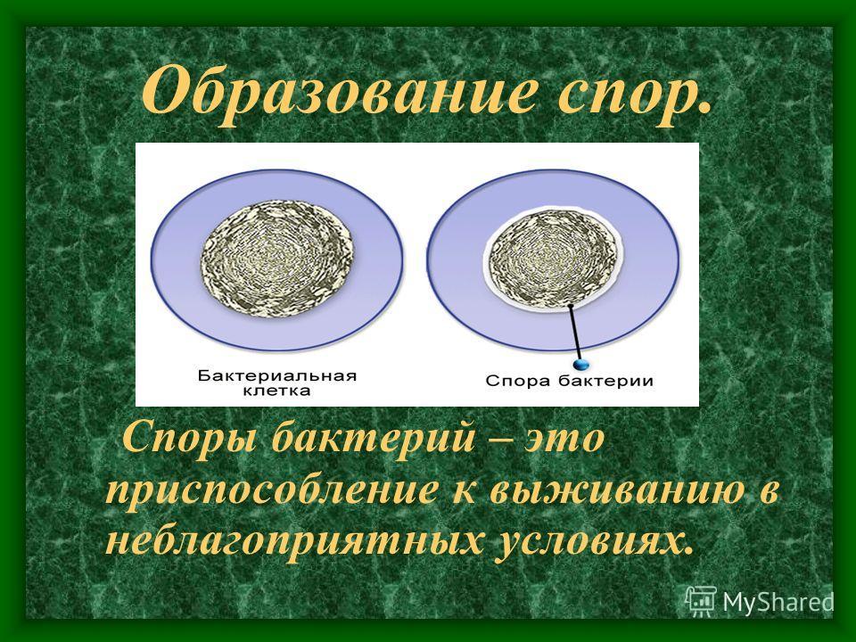 Образование спор. Споры бактерий – это приспособление к выживанию в неблагоприятных условиях.
