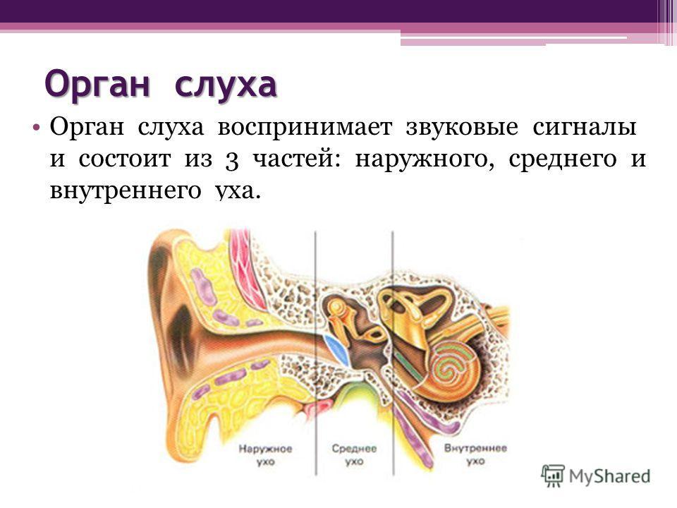 Орган слуха Орган слуха воспринимает звуковые сигналы и состоит из 3 частей: наружного, среднего и внутреннего уха.