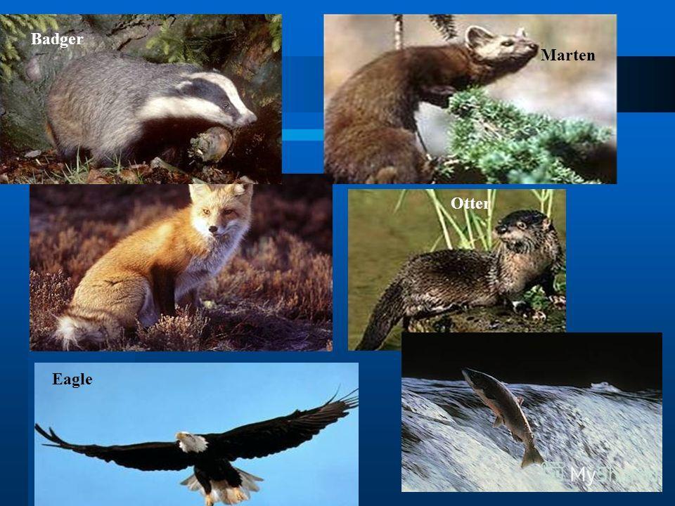 Badger Marten Otter Eagle