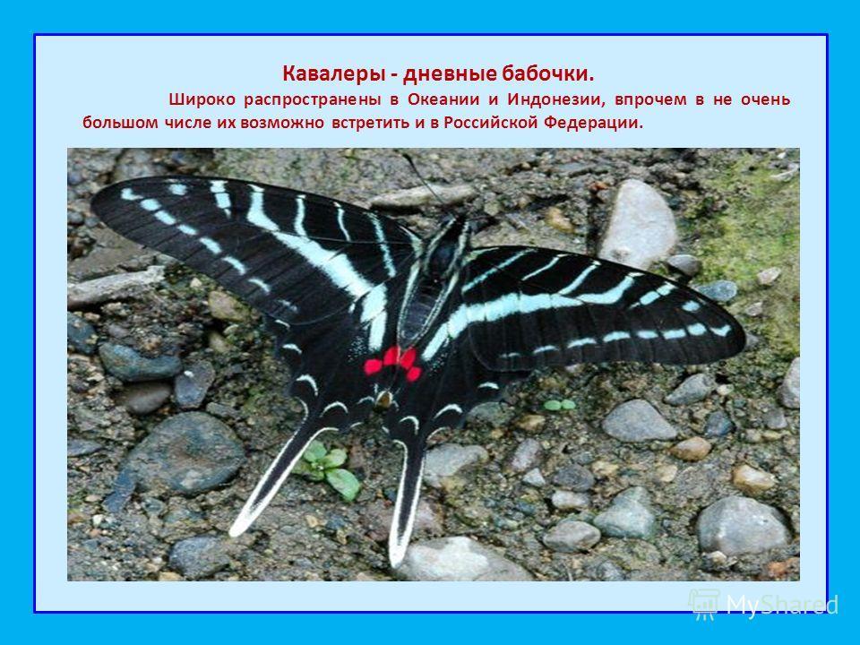 Кавалеры - дневные бабочки. Широко распространены в Океании и Индонезии, впрочем в не очень большом числе их возможно встретить и в Российской Федерации.