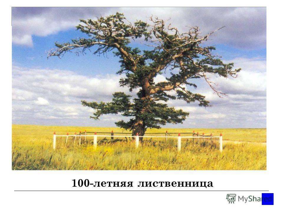 100-летняя лиственница