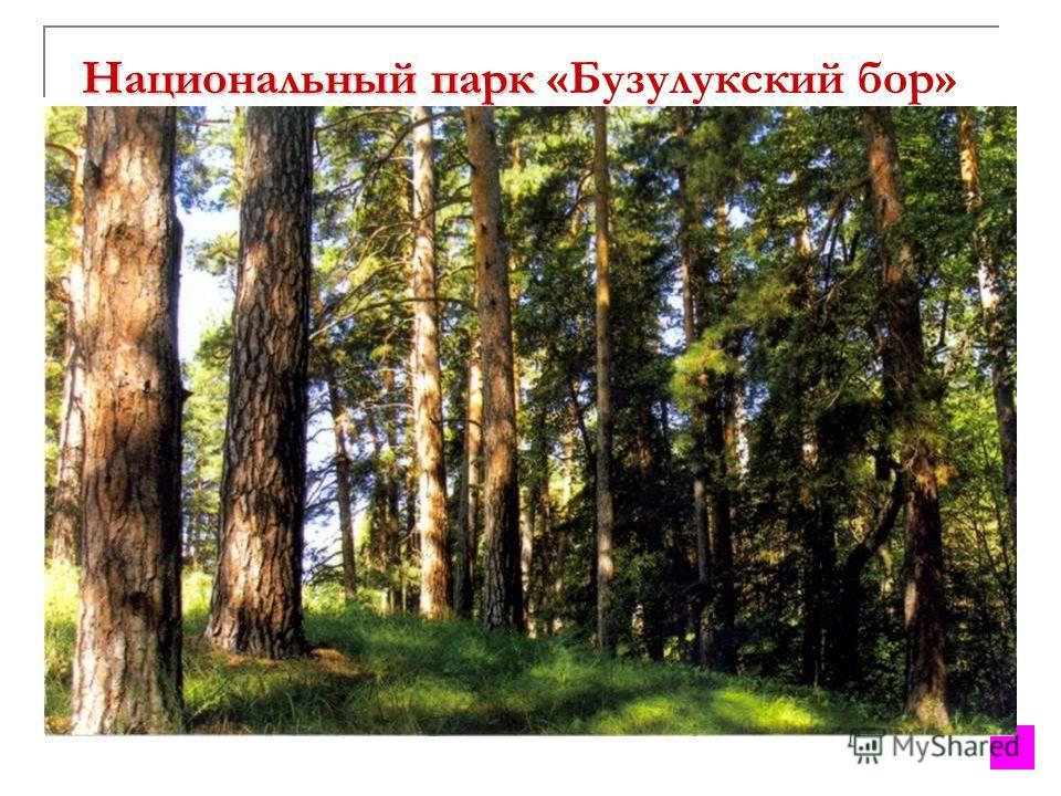 Национальный парк Национальный парк «Бузулукский бор» Создан 29 декабря 2007 г. расположен на территории Самарской и Оренбургской областей. Площадь свыше 106 тыс. гектаров. Произрастают 13 видов редких видов растений, включенных в Красные книги Росси