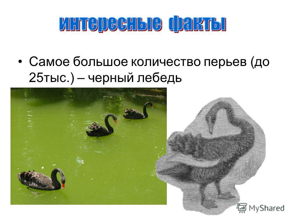 Самое большое количество перьев (до 25тыс.) – черный лебедь
