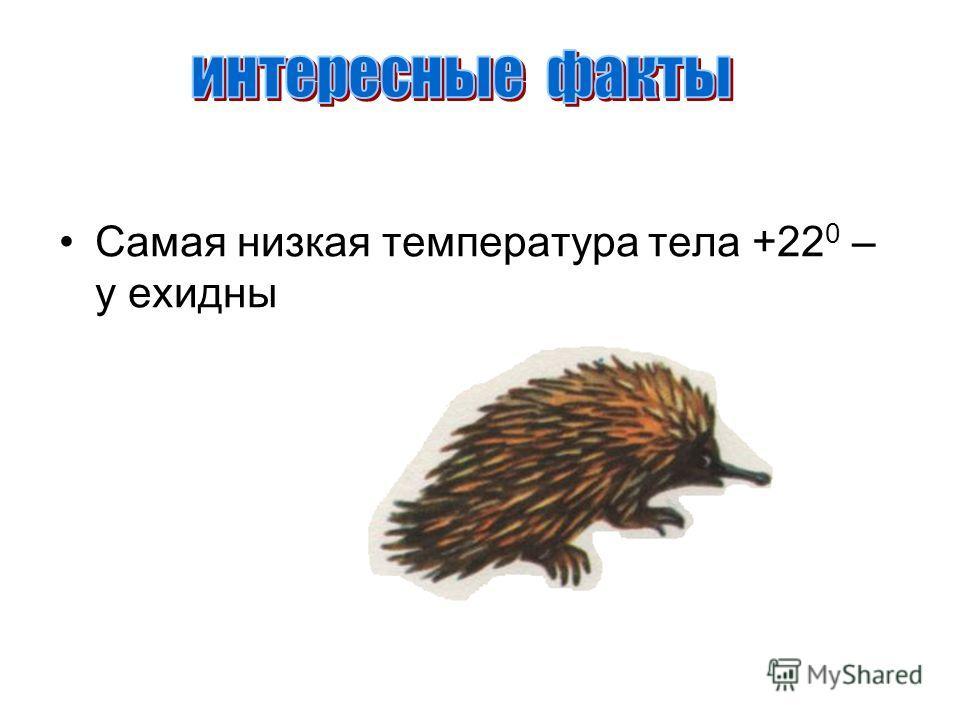 Самая низкая температура тела +22 0 – у ехидны