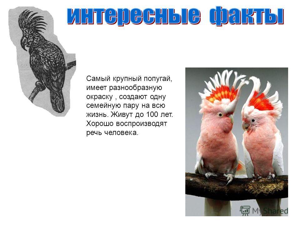 Самый крупный попугай, имеет разнообразную окраску, создают одну семейную пару на всю жизнь. Живут до 100 лет. Хорошо воспроизводят речь человека.