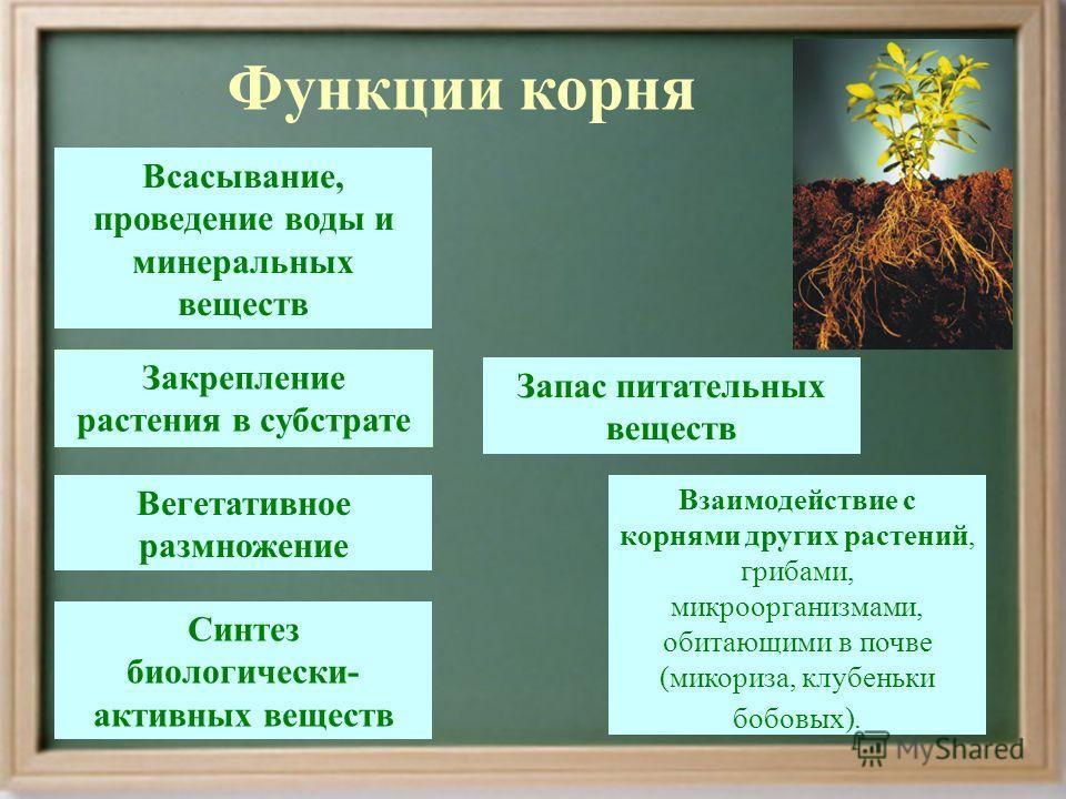 Функции корня Всасывание, проведение воды и минеральных веществ Запас питательных веществ Вегетативное размножение Закрепление растения в субстрате Взаимодействие с корнями других растений, грибами, микроорганизмами, обитающими в почве (микориза, клу