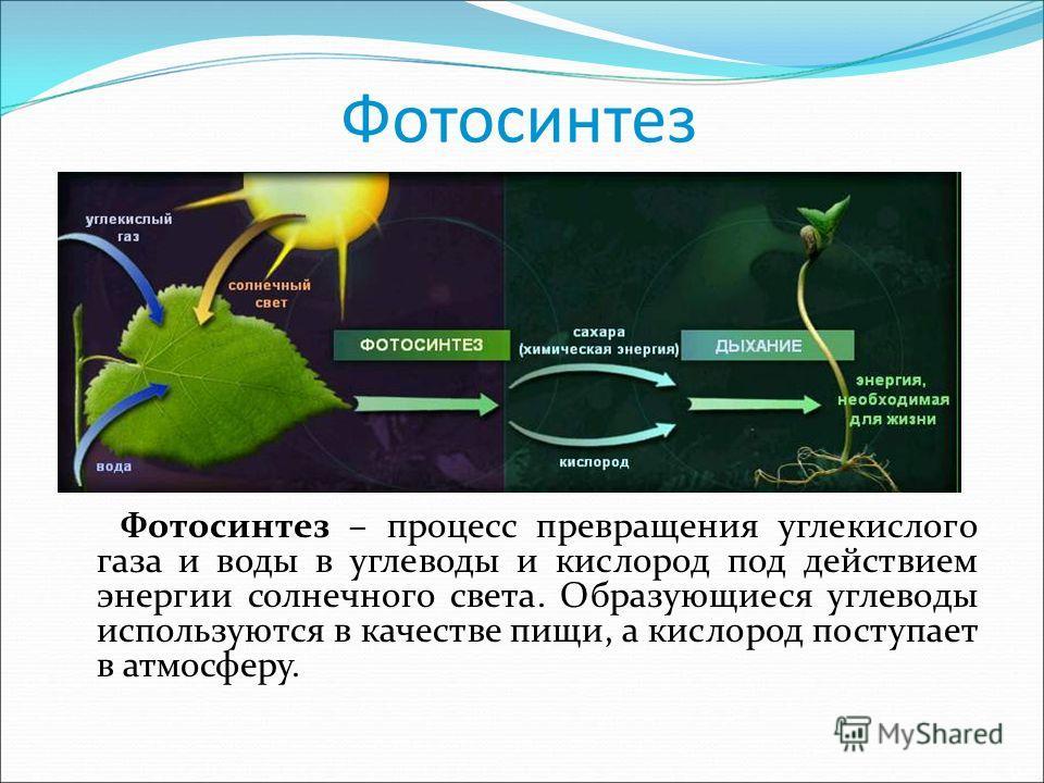Фотосинтез Фотосинтез – процесс превращения углекислого газа и воды в углеводы и кислород под действием энергии солнечного света. Образующиеся углеводы используются в качестве пищи, а кислород поступает в атмосферу.