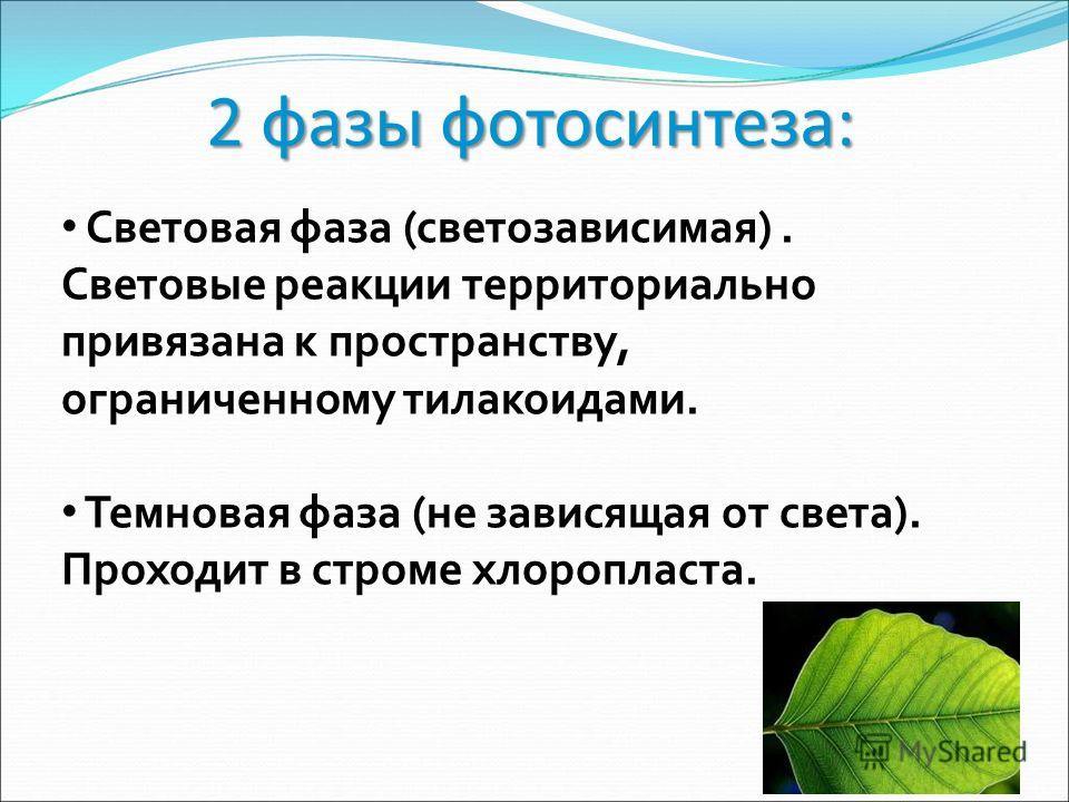 2 фазы фотосинтеза: Световая фаза (светозависимая). Световые реакции территориально привязана к пространству, ограниченному тилакоидами. Темновая фаза (не зависящая от света). Проходит в строме хлоропласта.