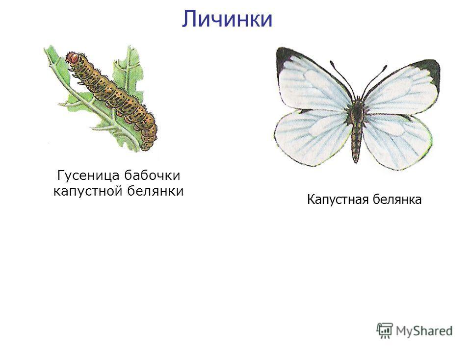 Личинки Гусеница бабочки капустной белянки Капустная белянка