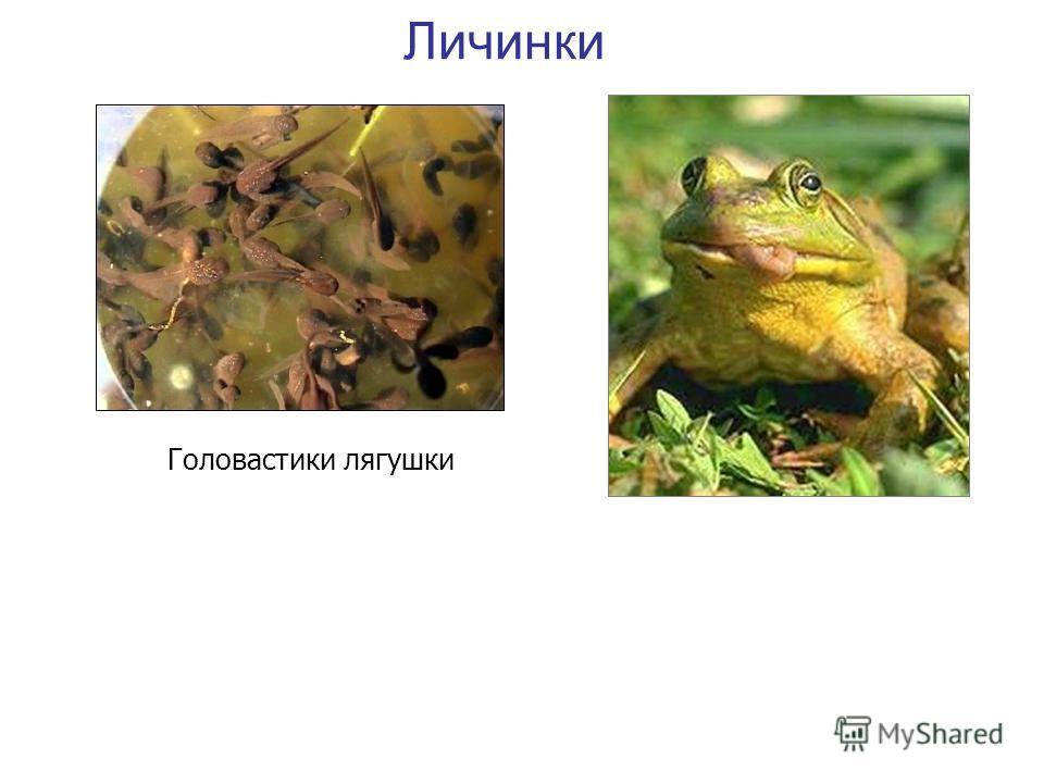Головастики лягушки