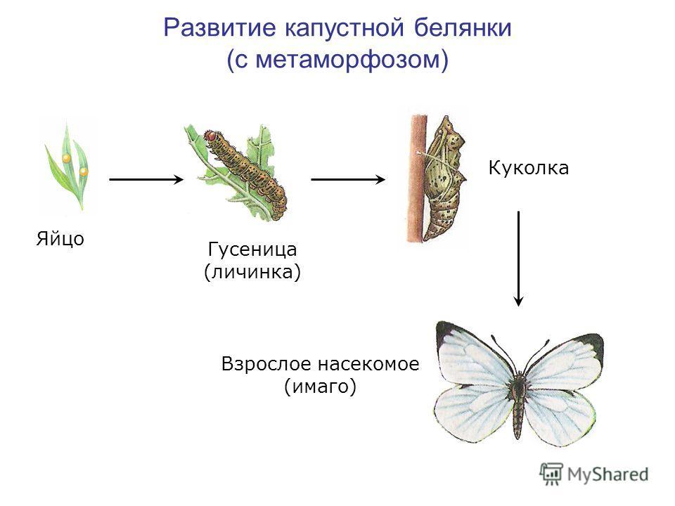 Развитие капустной белянки (с метаморфозом) Яйцо Гусеница (личинка) Куколка Взрослое насекомое (имаго)