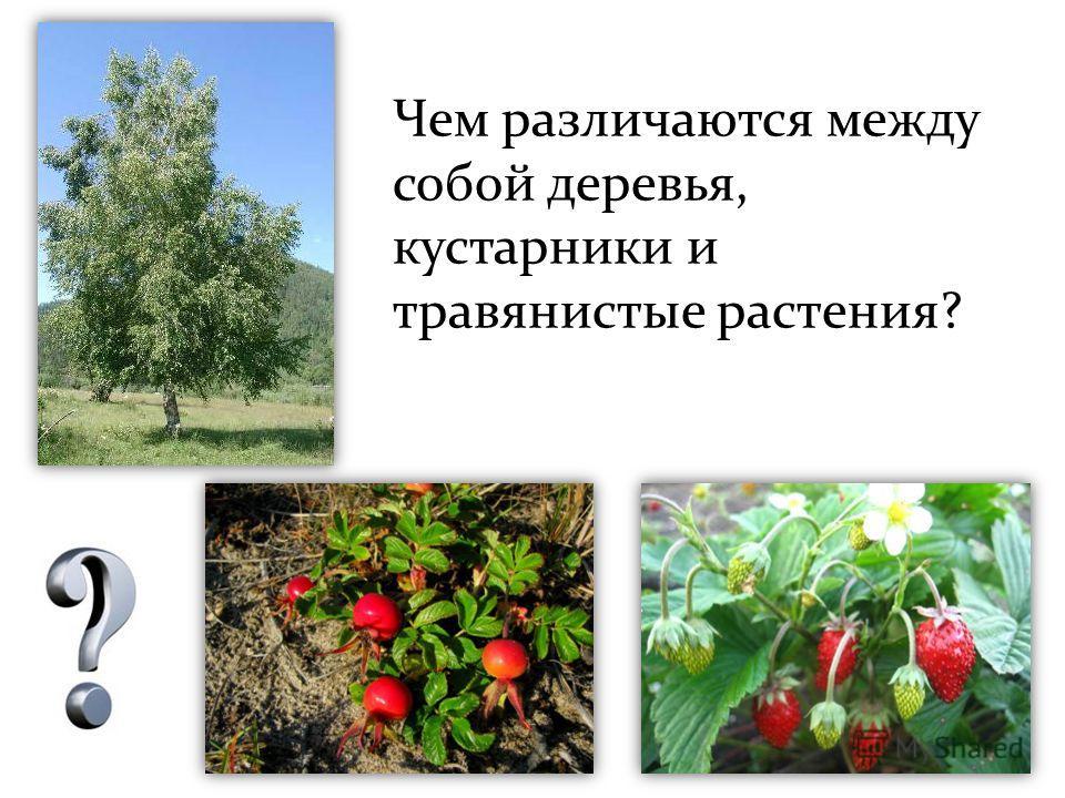 Чем различаются между собой деревья, кустарники и травянистые растения?