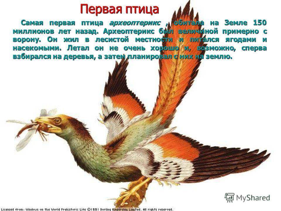 Первая птица Самая первая птица археоптерикс, обитала на Земле 150 миллионов лет назад. Археоптерикс был величиной примерно с ворону. Он жил в лесистой местности и питался ягодами и насекомыми. Летал он не очень хорошо и, возможно, сперва взбирался н