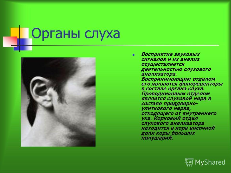 Органы слуха Восприятие звуковых сигналов и их анализ осуществляется деятельностью слухового анализатора. Воспринимающим отделом его являются фонорецепторы в составе органа слуха. Проводниковым отделом является слуховой нерв в составе преддверно- ули