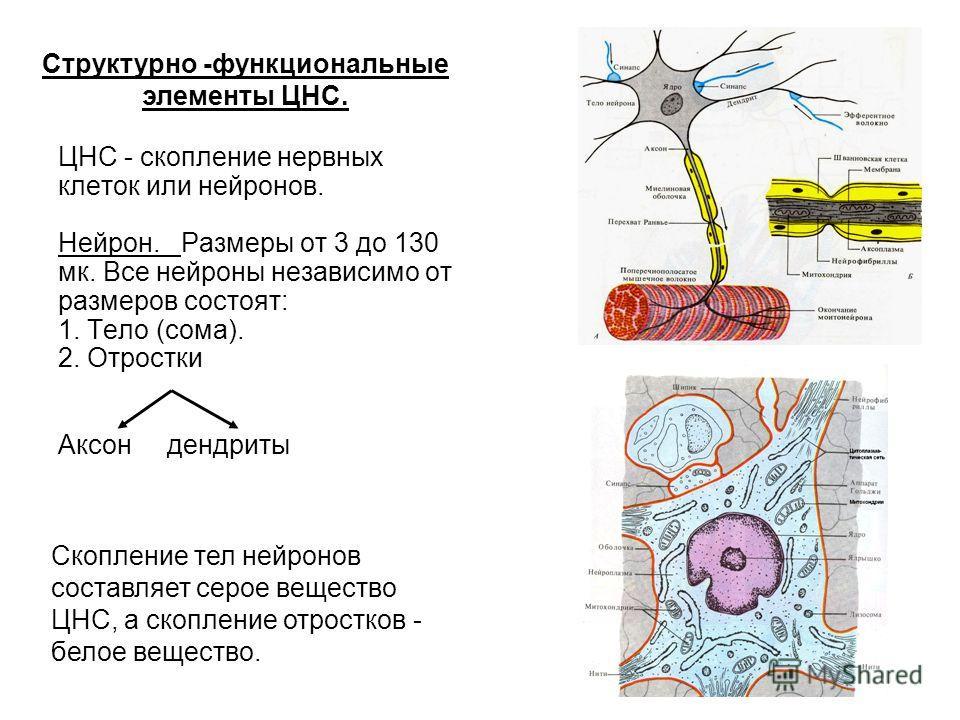 ЦНС - скопление нервных клеток или нейронов. Нейрон. Размеры от 3 до 130 мк. Все нейроны независимо от размеров состоят: 1. Тело (сома). 2. Отростки Аксон дендриты Структурно -функциональные элементы ЦНС. Скопление тел нейронов составляет серое вещес